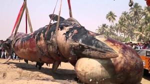 Who Killed this Giant Male Whale?? … You don't believe it is just a common man!!!!!!!!!!