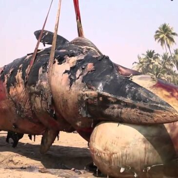 Who Killed the Giant Male Whale?? You don't believe it is just a COMMON MAN!!!!!!!!!!